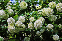 Viburnum flowers Stock Image