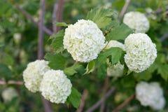 Viburnum. Flowers of Viburnum Carlesii, ornamental garden varietie Stock Photography