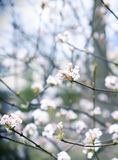 Viburnum flowers in spring. Stock Image