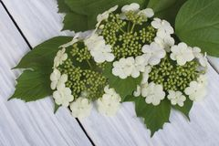 Viburnum flowers from young green leaves. On a wooden table stock photography