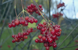 Viburnum foliage autumn Rowan fresh leaves healthy fruits plant agriculture  natural red berry currant fruit berries food green r. Autumn beauty storm cloudy Royalty Free Stock Images