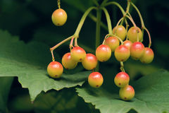 Viburnum fruits Royalty Free Stock Photos