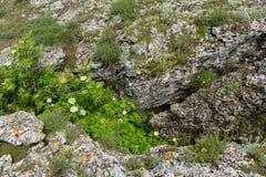 Viburnum grows in deep mountains Opuk crack. Stock Photography