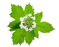 Viburnum (Guelder-rose) flower Stock Image