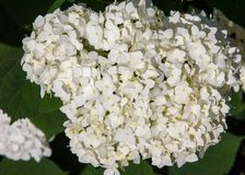 Viburnum, guelder rose. Similar to the closely related highbush cranberry, it is widely cultivated in North America. a deciduous E. Urasian shrub of the Stock Photos