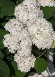 Viburnum, guelder rose. Similar to the closely related highbush cranberry, it is widely cultivated in North America. a deciduous E. Urasian shrub of the Royalty Free Stock Images
