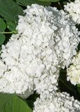 Viburnum, guelder rose. Similar to the closely related highbush cranberry, it is widely cultivated in North America. a deciduous E. Urasian shrub of the Stock Images