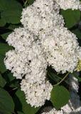 Viburnum, guelder stieg Ähnlich der eng verwandten highbush Moosbeere, wird es weit in Nordamerika kultiviert ein laubwechselndes lizenzfreie stockbilder