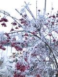 Viburnum i en kall vinterdag royaltyfria bilder