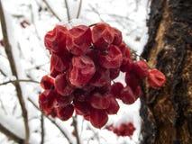 Viburnum i snön Arkivbilder