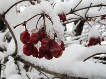 Viburnum im Schnee Lizenzfreies Stockfoto