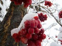 Viburnum im Schnee Stockbilder