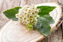 Viburnum inflorescence on natural wooden background Stock Photos