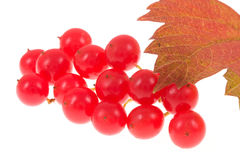 Viburnum on isolated Stock Images