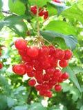 Viburnum jagody Zdjęcia Stock