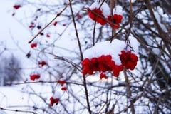 Viburnum jagody Zdjęcie Stock