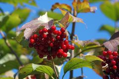 Viburnum jagody zdjęcia royalty free