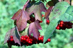 Viburnum jagody Zdjęcie Royalty Free