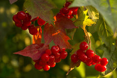 Viburnum jagody na gałąź Fotografia Royalty Free