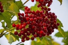 Viburnum jagody na gałąź Obraz Stock