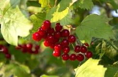 Viburnum jagody na gałąź Obrazy Royalty Free