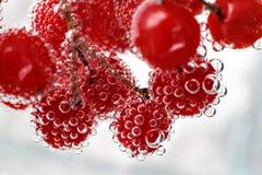 Viburnum jagody pod wodą, krople bardzo zamykają zdjęcia stock