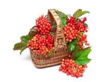 Viburnum jagody w koszu na białym tle Zdjęcia Stock