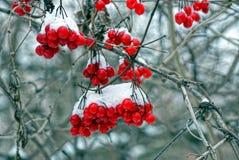Viburnum jagody w ogródzie pod śniegiem Zdjęcie Royalty Free