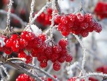 Viburnum jagody zakrywać z mrozem Zdjęcia Royalty Free