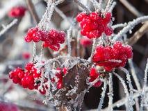 Viburnum jagody zakrywać z mrozem Obrazy Royalty Free