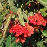 Viburnum juteux sur l'arbre photographie stock libre de droits
