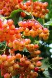 Viburnum juteux sur l'arbre photo libre de droits