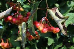 Viburnum juteux sur l'arbre image libre de droits