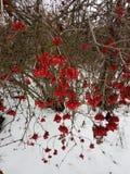 viburnum Kalinarood in de sneeuw in de winter stock foto