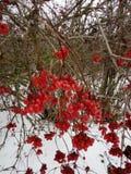 viburnum Kalinarood in de sneeuw in de winter stock afbeeldingen