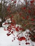 viburnum Kalinarood in de sneeuw in de winter royalty-vrije stock afbeelding