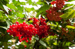 Viburnum krzak na słonecznym dniu Wiązka czerwone jagody Guelder wzrastał Zdjęcie Stock