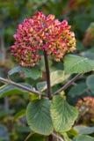 Viburnum lantana. Close up of Viburnum lantana (german; Wolliger Schneeball) with fruits, summer, by Beckingen, Saarland / Germany royalty free stock images