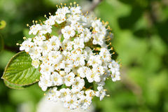 Viburnum lantana, also know as wayfarer or wayfaring tree. White flowers close up with green background Royalty Free Stock Photography