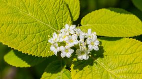Viburnum lantana aureum a bunch of flowering white flowers. On a branch with yellow-green foliage, a sunny day, the plant is lit by the sun, spring royalty free stock photos