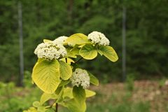 Viburnum lantana `Aureum`. Upright deciduous tree with a sun kissed appearance…burnished yellow golden new leaves slowly age to apple green by late summer royalty free stock image