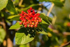 Viburnum lantana bush red juicy black berries in sunlight on a green leaf. Viburnum lantana bush red juicy black berries in sunlight with shadow on a green leaf stock image