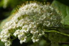 Viburnum lantana flowers. In evening sunlight Royalty Free Stock Image