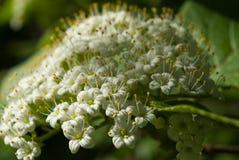 Viburnum lantana flowers Royalty Free Stock Image