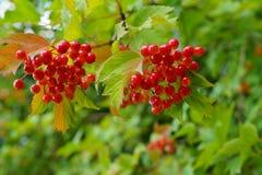 Viburnum lantana - Guelder Rose berries. Selective focus royalty free stock photo