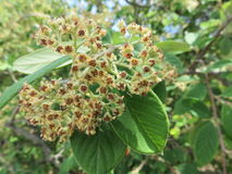 Viburnum lantana. And after its beautiful white flowers that are formed in the spring came the seeds of the seeds here in beautiful view stock image