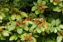 Viburnum lantana Stock Photography