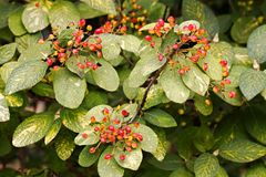 Viburnum lantana. Red berries viburnum lantana, fruits among leaves royalty free stock photo