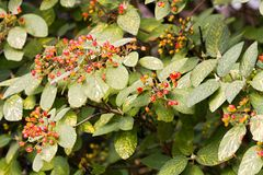 Viburnum lantana Royalty Free Stock Photography