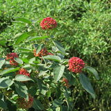 Viburnum lantana. The red is not ripe fruits of Viburnum lantana, grows near the forest in Germany royalty free stock image